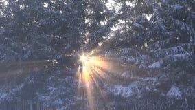 Sun shining through fir trees in winter. Sun shining through fir trees growing in row by the wooden fence in winter stock footage