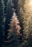 Sun shining through the forest fir trees spruces autumn fall panorama vertical format. Sunbeam shining through the forest fir trees spruces autumn fall panorama royalty free stock images