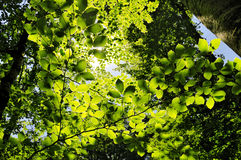 Sun shining into forest, low angle view Royalty Free Stock Image