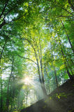 Sun shining on the forest slope. With rays Stock Photos