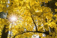 Sun shining through golden Big leaf maple tree Acer macrophyllum foliage, Calaveras Big Trees State Park, California royalty free stock photos