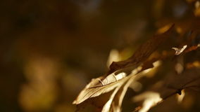 Sun shining on golden leaves on tree branch. Video of sun shining on golden leaves on tree branch stock video footage