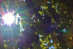 Sun shining through grapes Stock Photography