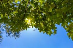 Sun shining through the green leafs Stock Photos