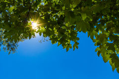 Sun shining through the green leafs. At blue sky Royalty Free Stock Photo
