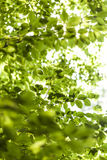 Sun shining through the green leaves on a tree Stock Photos