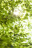 Sun shining through the green leaves on a tree Royalty Free Stock Images