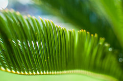 Sun  shining through Green Palm Leave. Shallow depth of field Stock Images