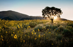 Sun shining through a juniper tree with sunflowers. Sagebrush, and mountains landscape stock photo