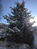 Sun Shining Through Large Snowy Evergreen Tree Stock Image