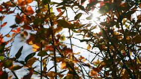 Sun shining through leaves blowing in breeze. Clear autumn day. Clear autumn day. Blue sky, purple shrub. Shrub with autumn leaves. Sun shining through fall stock footage