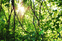 Sun shining through leaves. Early spring. Linden. Royalty Free Stock Photography