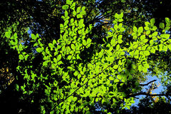 Sun shining through the leaves Royalty Free Stock Photography