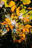 Sun shining through leaves Royalty Free Stock Photos
