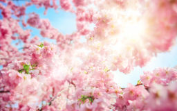 Sun shining through lush cherry blossoms Royalty Free Stock Photo