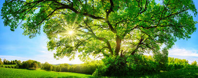The sun shining through a majestic oak tree. The sun shining through a majestic green oak tree on a meadow, with clear blue sky in the background, panorama Stock Photo
