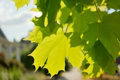Sun shining through maple leaves. Bright green maple leaves backlit by the sun Royalty Free Stock Photo