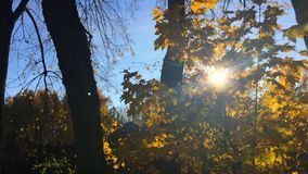 Sun shining through maple tree branches with golden yellow leaves. Moving in the wind against blue sky in autumn forest stock footage