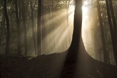 Sun shining near a tree in a magical forest with fog Stock Photos