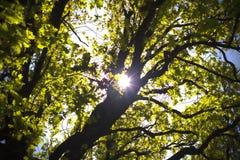 Sun shining through oak. Sunlight through the branches of oak background stock photos