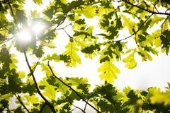 Sun shining through oak leafs in early spring Stock Photos