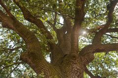 Sun shining through the oak tree crown stock photos
