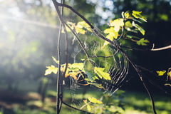 Sun shining through oak tree leaves and spiderweb in autumn Royalty Free Stock Photography