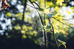 Sun shining through oak tree leaves and spiderweb in autumn Royalty Free Stock Images