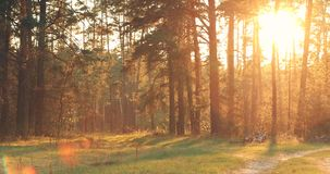 Sun Shining Over Forest Lane, Country Road, Path, Walkway Through Pine Forest. Sunset Sunrise In Summer Forest Trees. Pan, Panorama stock video