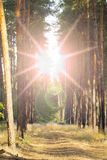 Sun Shining Over Forest Lane, Country Road, Path, Walkway Through Pine Forest. Sunset Sunrise In Summer Forest Trees. Stock Image