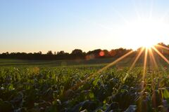 Sun Shining Over a Green Corn Field Royalty Free Stock Images