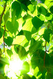 Sun shining over the tree crone Royalty Free Stock Photos