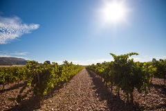 Sun shining over the vineyard Stock Images