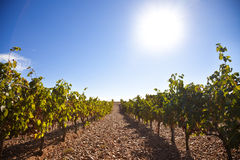 Sun shining over the vineyard. Ribera del Duero vineyard against sunlight Stock Photo