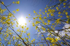 Sun Shining over Yellow Flowering Plant Royalty Free Stock Image