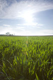 Sun shining over young wheat field Royalty Free Stock Photos