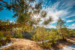 Sun Shining Through Pine Branch In Autumn Forest. Pine Tree Needles Royalty Free Stock Images