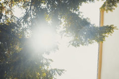 Sun shining through the pine. In the morning Royalty Free Stock Photo