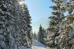 The sun shining through pine trees covered in snow Royalty Free Stock Photo