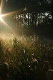 Sun shining through pine wood. Rays of sun shining through pine forest in morning Royalty Free Stock Photo