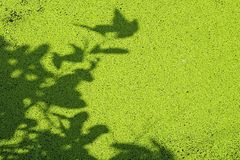 Sun shining through a radiating duckweed Royalty Free Stock Photography
