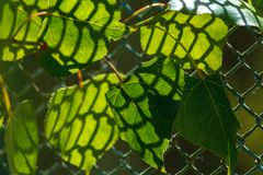 The sun shining through radiating green leaves. Green leaves with patterned shade from the lattice. The sun shining through radiating green leaves. Natural royalty free stock photo