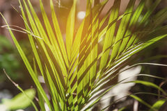 Sun shining through a radiating Palm leaf. Stock Images