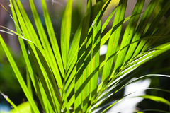 Sun shining through a radiating Palm leaf. Royalty Free Stock Photography