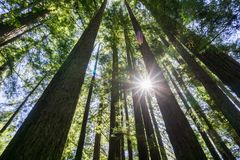 Sun shining in a Redwood trees forest, California Stock Image