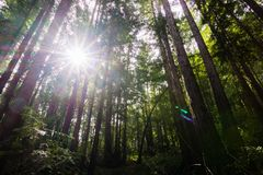 Sun shining through a Redwood trees forest (Sequoia Sempervirens) in the forests of Henry Cowell State Park, Santa Cruz mountains. San Francisco bay area royalty free stock photography