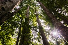 Sun shining through a Redwood trees forest (Sequoia Sempervirens) in the forests of Henry Cowell State Park, Santa Cruz mountains. San Francisco bay area stock images