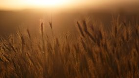 Sun shining on ripe wheat field Stock Image