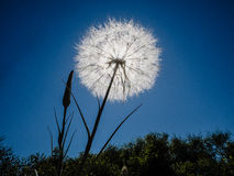 Sun shining through seed head Royalty Free Stock Photo
