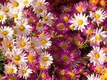 Shades of Pink Mums Flowers stock photos